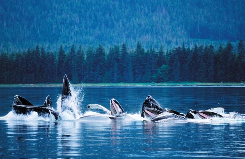 Humpback Whales Bubblenetting, Frederick Sound, Southeast Alaska