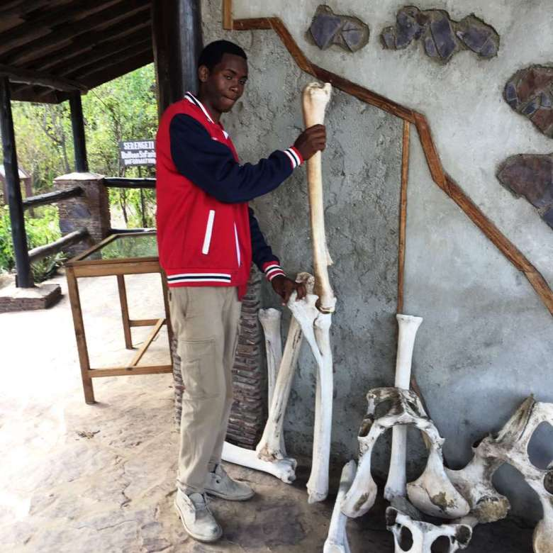 Guide at Serengeti Museum showing the skeleton legs of a Giraffe